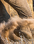 Etosha National Park, Namibia , African bush or savanna elephant (Loxodonta africana)