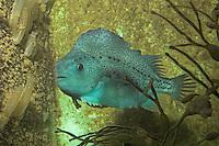 Seehase, See-Hase, Lump, Lumpfisch,  Lump-Fisch, Weibchen, Cyclopterus lumpus, lumpsucker, lumpfish, hen-fish, henfish, sea hen