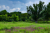Joe Pye Weed blooms in the graddlands near the edge of an Oak savanna, Nachusa Grasslands Nature Conservancy, Ogle & Lee Counties, Illinois