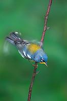561000002 a wild adult northern parula setophaga americana - was parula american perches on a small plant stem while fluttering its wings in the rio grande valley of south texas