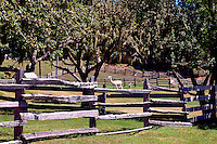 Near Sointula, Malcolm Island, BC, British Columbia, Canada - Alpacas on Pasture behind Rail Fence
