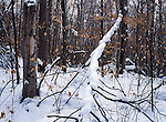 Deep snow cover in the forest of the Mckenzie Mountain Wilderness, Adirondack Mountains, NY