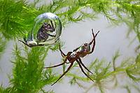 """Wasserspinne, Wasser-Spinne, Silberspinne, mit """"Tauxcherglocke"""", Luftblase unter Wasser, Argyroneta aquatica, diving bell spider, water spider, l'Argyronète"""