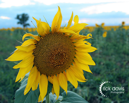 A sunflower field on the eastern plains of Colorado.