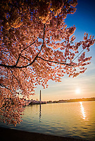 Cherry Blossoms Washington Monument Tidal Basin Washington DC Cherry Blossoms Tidal Basin Washington DC<br />
