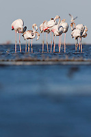 Greater Flamingos wading in Lake Xau
