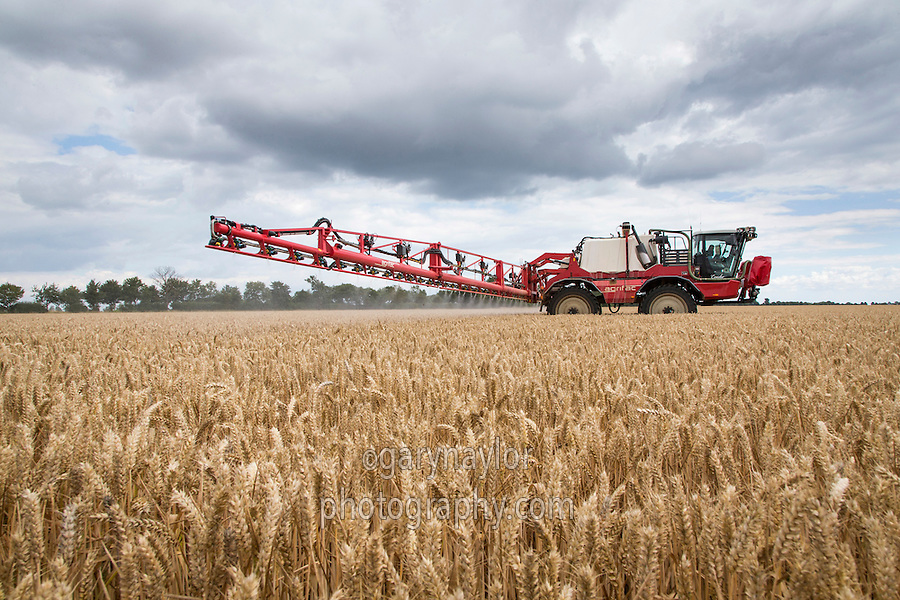 Spraying winter wheat off with glyphosate herbicide seven days beefore harvest - August, Lincolnshire