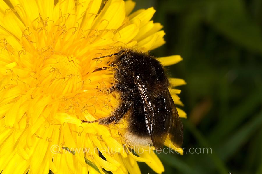Baumhummel, Bombus hypnorum, Pyrobombus hypnorum, beim Blütenbesuch auf Löwenzahn, Nektarsuche, Bestäubung, tree bumblebee, new garden bumblebee