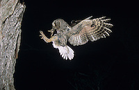 Eastern Screech-Owl, Megascops asio, Otus asio, adult in flight landing at cavity with frog prey, Willacy County, Rio Grande Valley, Texas, USA