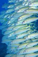 yellowfin goatfish, weke ula, Mulloidichthys vanicolensis, Midway atoll, Papahanaumokuakea Marine National Monument, Northwestern Hawaiian Islands, Hawaii, USA, Pacific Ocean