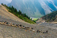 A herd of goats and sheep, Zojila Pass; Kashmir, Jammu and Kashmir State; India.