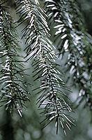 Europe/France/Auvergne/43/Haute-Loire/Env de Saint-Bonnet-le-Froid: Détail de la forêt de résineux