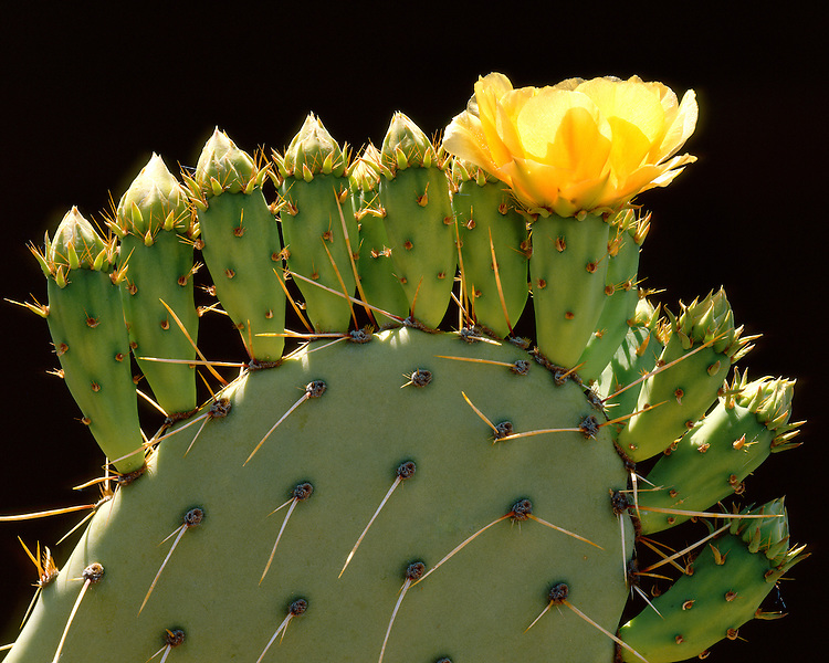 Close-up detail of a Pricklypear cactus (Opuntia engelmannii) cactus flower and buds in sunset light; Saguaro National Park, AZ