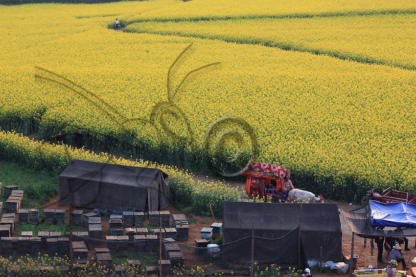 In the village of Jinji Lin, a lane allows tourists to walk through the fields of flowers and reach the hills. The beekeepers position themselves near the lane to profit from this financial manna.