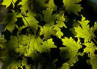 Rays of sun shine through maple leaves Sept. 5 along Chittenango Creek, NY.