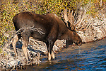 Bull moose drinking from the Gros Ventre River during the rut. Grand Teton National Park, Wyoming.
