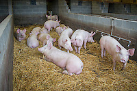 Pigs being fattened and finished indoors on straw bedding - Lincolnshire