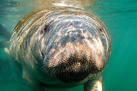 Florida manatee or West Indian manatee, Trichechus manatus latirostris, Crystal River, Florida, United States, North America