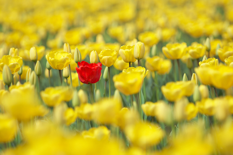Field of yellow tulips with one red tulip. Mt. Vernon. Washington