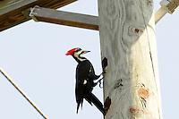 "Pileated woodpecker ""doing its thing "" on a telephone pole in Arthur Marshall Loxahatchee Preserve,  Boynton Beach, Florida."