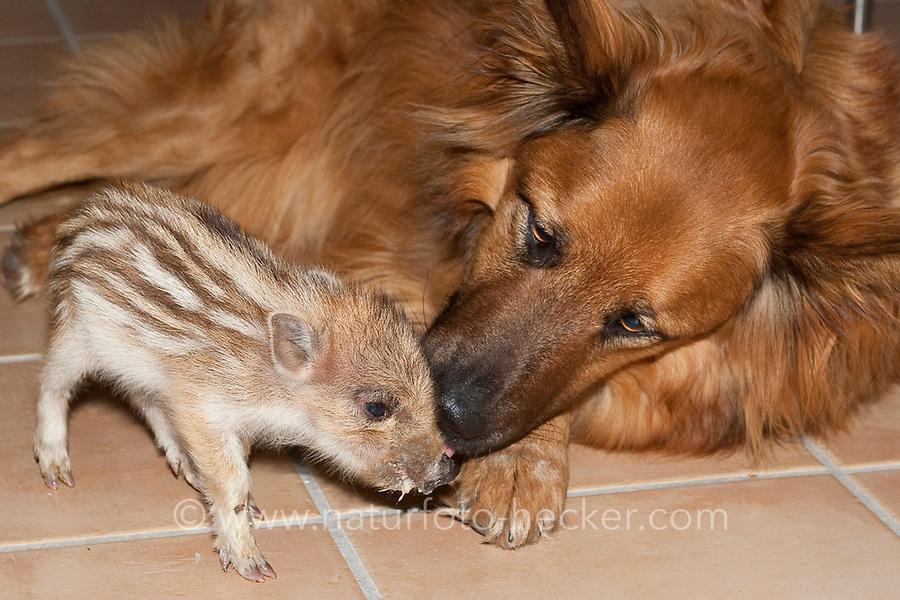 """Wildschwein, verwaistes, pflegebedürftiges, in Menschenhand gepflegtes, zahmes Jungtier spielt mit Hund, Freundschaft zwischen Hund """"Laska"""" und Wildtier, Wild-Schwein, leben gemeinsam im Haus, Schwarzwild, Schwarz-Wild, Frischling, Junges, Jungtier, Tierkind, Tierbaby, Tierbabies, Schwein, Sus scrofa, wild boar, pig"""
