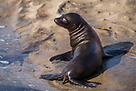 La Jolla, California; a California Sea Lion pup sitting at the edge of a tide pool in late afternoon sunlight