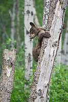 Cinnamon Black Bear cub contemplating the move to a different tree