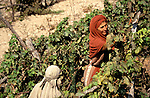 Israel, Galilee, Nazareth Village, recreating Nazareth in the time of Jesus, the vinyard