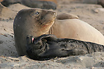 elephant seal female and pup