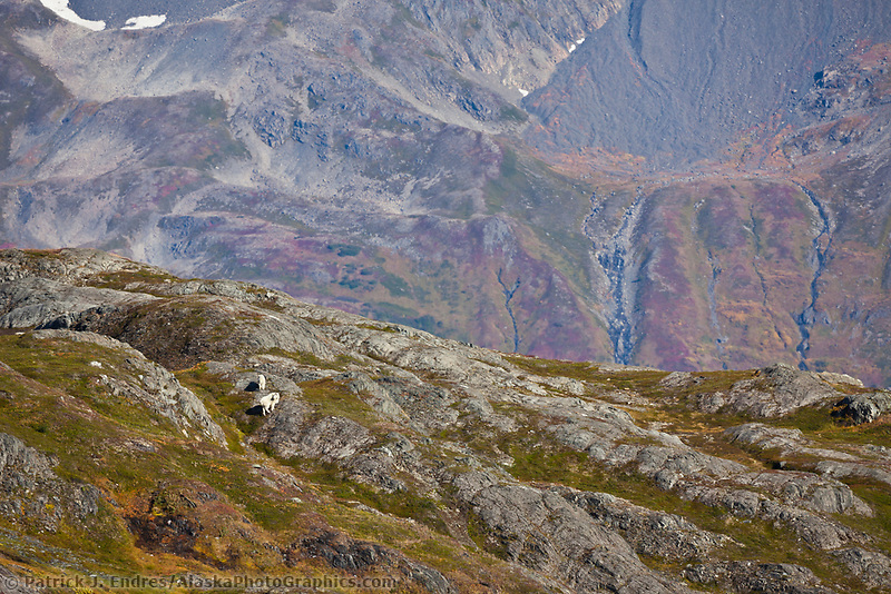 Mountain goats, Kenai Fjords National Park, Kenai mountains, Kenai Peninsula, southcentral, Alaska.