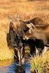 Moose cow and calf, Grand Teton National Park, Wyoming