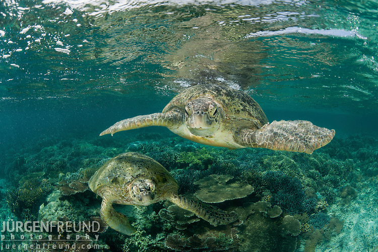 Mating green turtles (Chelonia mydas) in the reef shallows