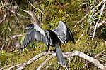 The Anhinga spreads its wings to dry after a dive.