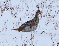 Male sharp-tailed grouse on lek