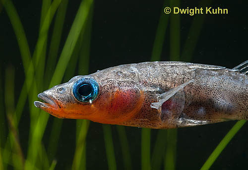 1S12-508z  Male Threespine Stickleback,  Mating colors showing bright red belly and blue eyes,  Gasterosteus aculeatus,  Hotel Lake British Columbia