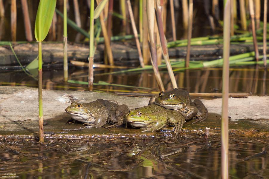 Three Marsh Frogs {Pelophylax ridibundus} at Elmley Marshes, Isle of Sheppey, Kent