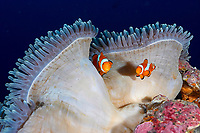 A pair of western or false clownfish Amphiprion ocellaris in a partially closed white host anemone, East of Eden. The Similan islands, Andaman Sea, Indian Ocean, Thailand, Asia