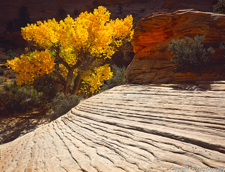 Zion National Park, UT     <br /> Gold Cottonwood (Populus fremontii) with striated lines on Navajo Sandstone