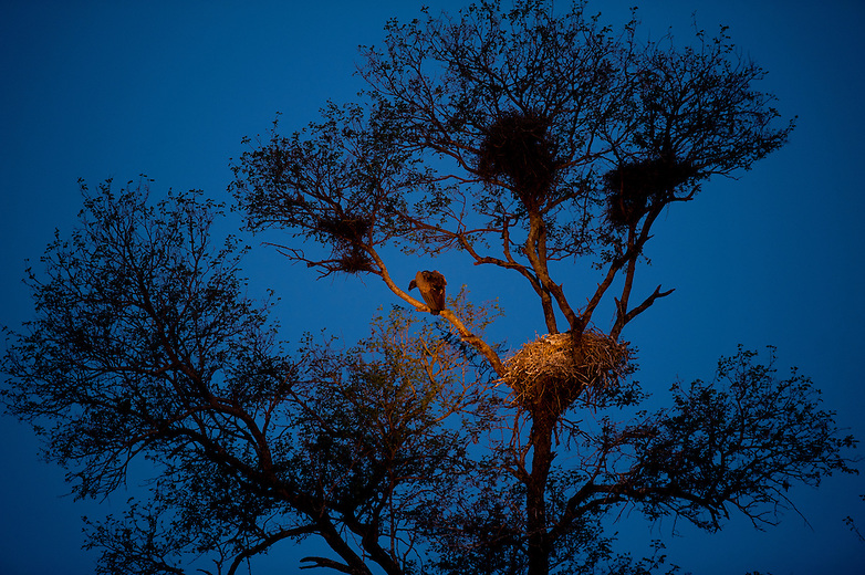 White-backed Vultures nest during the wintertime in southern Africa. This strategy coincides with the dry season making food availability easier as carcasses are easier to locate for hungry chicks back home. They are often termed the undertakers of the bush.