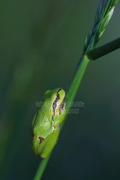 Common Tree Frog, Hyla arborea, young resting on grass, National Park Lake Neusiedl, Burgenland, Austria, Europe