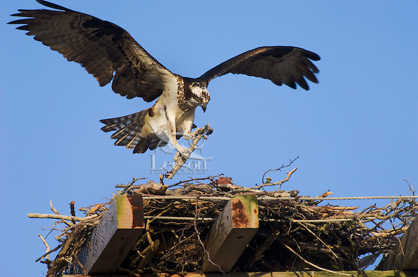 Osprey (Pandion haliaetus) female adds stick to nest on man-made structure built to prevent nesting on telephone poles. Nova Scotia, Canada.