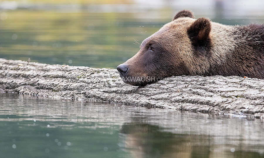 A male grizzly bear pauses while foraging in an estuary in the Great Bear Rainforest.