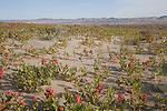Hanford Reach National Monument, Saddle Mountains,  Wahluke Slope, sand dunes, Sand Dock, Rumex hymenosepalus, Columbia Basin, eastern Washington, Washington State, Pacific Northwest, USA, North America,