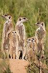 Meerkats with young, Suricatta suricata, Kalahari Meerkat Project, Van Zylsrus, Northern Cape, South Africa