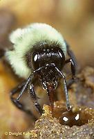 BU28-007z  Bumblebee - worker drinking from honeypot - Bombus impatiens