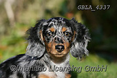 Bob, ANIMALS, REALISTISCHE TIERE, ANIMALES REALISTICOS, dogs, photos+++++,GBLA4337,#a#, EVERYDAY