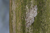 Zackenbindiger Rindenspanner, Pflaumenspanner, Ectropis crepuscularia, Ectropis bistortata, Boarmia bistortata, Engrailed, Small Engrailed, Small Engrailed Moth, hieroglyphic moth, Spanner, Geometridae, looper, loopers, geometer moths, geometer moth