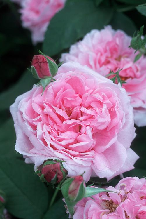 Rose 'Bishop's Castle' medium pink David Austin Rose in flowers and buds