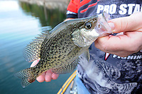 STAFF PHOTO FLIP PUTTHOFF <br /> Crappie are among the most popular game fish at Beaver Lake. They reproduce naturally, but Game & Fish regularly stocks crappie to provide more fish for anglers.