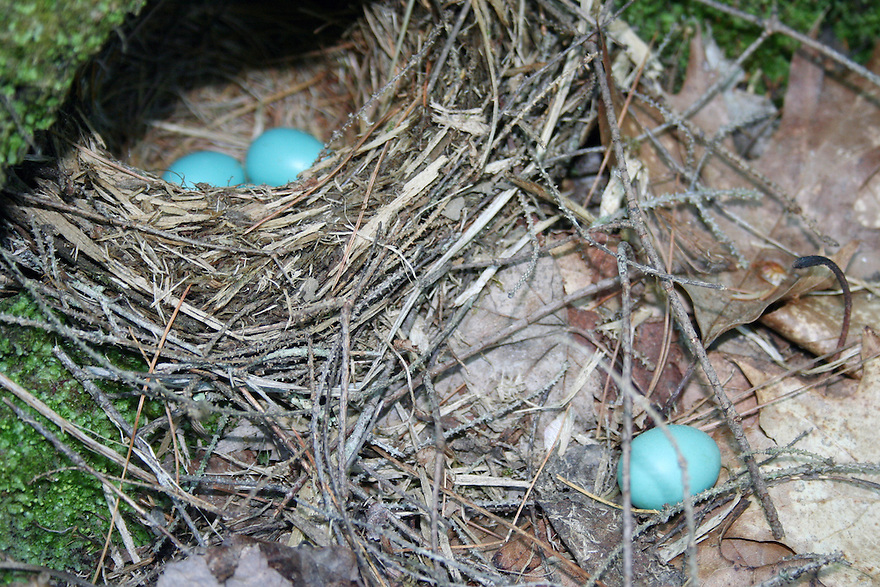 Blue robins eggs near and in nest